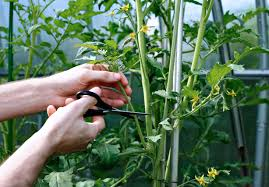 cutting leaves on tomatoes learn about cutting back tomato plants