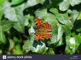 comma butterfly orange butterfly with yellow and black spots on