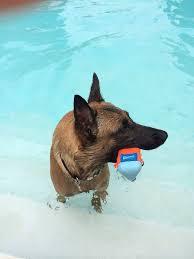 belgian malinois little rock 97 best belgian malinois best dog ever images on pinterest