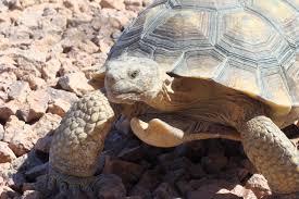 desert tortoise media gallery