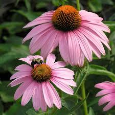echinacea flower echinacea purpurea magnus walters gardens inc