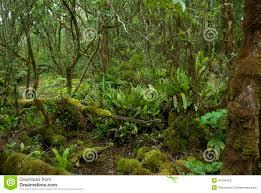 Native Plants In The Tropical Rainforest Pihea Trail Tropical Rainforest Cloud Forest Kauai Stock Photo
