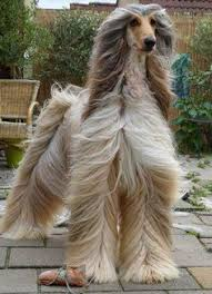 afghan hound hairstyles pin by cute animals on cute pictures pinterest
