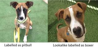 boxer dog rescue florida dogs labeled as u0027pit bulls u0027 are damned to longer shelter stays