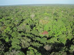 canopy amazon synchronized leaf aging in the amazon responsible for seasonal