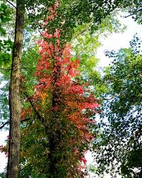 poison ivy naturesurrounds