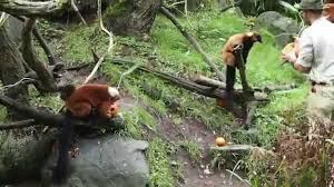 Zoo Lights Woodland Park Zoo by Woodland Park Zoo Pumpkin Bash Red Ruffed Lemurs Youtube