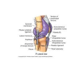 Knee Anatomy Pics Anatomy Of The Knee Joint