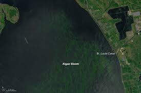 satellite map of florida new satellite images show extent of florida algal bloom popular