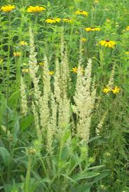 native michigan plants grass june grass simply grass pinterest grasses plants