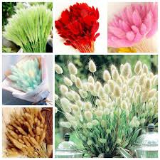 aliexpress buy 100 pcs grass seeds bunny tails grass lagurus