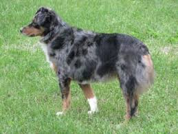 australian shepherd vocal cannon veterinary services ltd miniature australian shepherds for