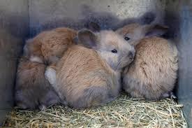 heartfelt angoras fiber arts and french angora rabbits