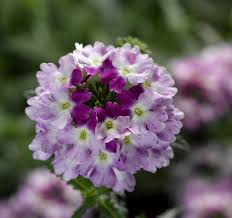 Verbena Flower Obsession Cascade The First Trailing Verbena From Seed Syngenta