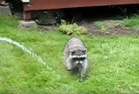 how to get rid of raccoons protect yourself from procyon catch
