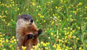 groundhog hibernation animals mom