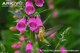 Hummingbird On A Flower - rufous hummingbird photo selasphorus rufus g97119 arkive