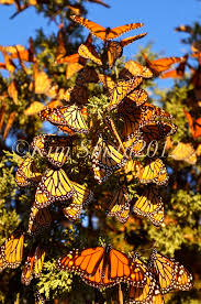 monarch butterfly stock photos smith designs