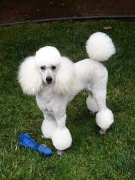 pictures of poodle haircuts poodles smart active and proud pup home poodle dan and dog