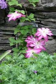 Fragrant Climbing Plant - many varieties of climbing plants available cleveland com