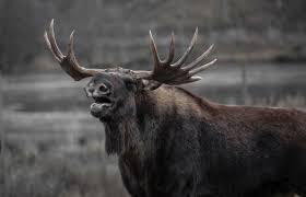 brown moose free stock photo