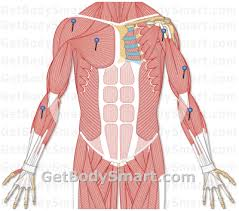Anatomy And Physiology Muscle Labeling Exercises Upper Limb Muscles Quizzes Muscles Of The Upper Limbs Quizzes