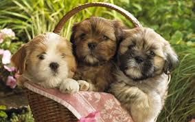 cute baby puppies cute puppies wallpaper desktop background