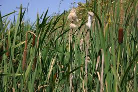 Sweet Flag Grass Cattail Oregon Wholesale Seed Company