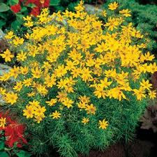 best 25 yellow perennials ideas on pinterest black eyed susan