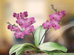 Orchid Flower Pic - 3 ways to get orchids to bloom wikihow
