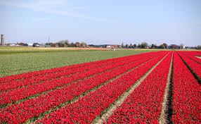 Netherlands Tulip Fields Amsterdam Tulips A Bike Tour To Holland U0027s Keukenhof Gardens