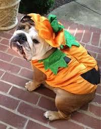hamburger bulldog halloween dog costume dog halloween costumes