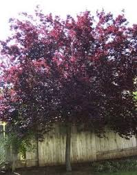 purple leaf plum tree fruitless next to the gingkos because i