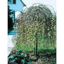 shop 5 5 gallon pink weeping willow tree feature shrub