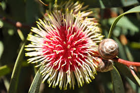hardy native australian plants australia plants images reverse search