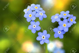 forget me not small flowers in the shape of a stock photo