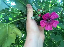 native ca plants lavatera malva assurgentiflora island mallow ca native tall