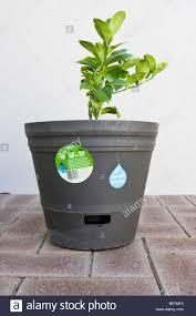 a lemon tree growing in a self watering plant pot stock photo