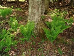 Michigan Ferns