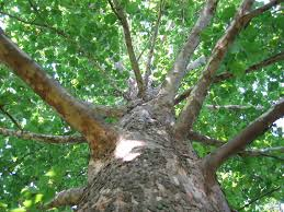 fast growing trees to avoid gardening