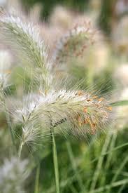 ornamental grasses rhs gardening