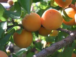 Transplant Fruit Trees - fruit trees san diego guide the best trees to plant install it