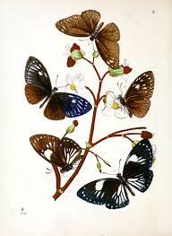 animal u2013 insect u2013 butterfly u2013 rare book u2013 oriental entymology u2013 5