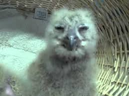 baby eagle owls eating lunch youtube