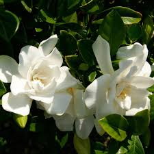 Very Fragrant Plants Southern Living Plant Collection 2 Gal Jubilation Gardenia Live