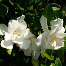 Fragrant Plants List Southern Living Plant Collection 2 5 Qt Jubilation Gardenia Live