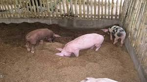 Piggery Floor Plan Design by Piggery House Design In The Philippines Youtube