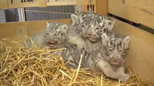 4 white tiger cubs with blue cry out while on display