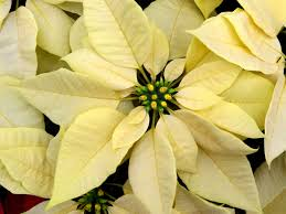 white poinsettia point me to the poinsettias rainbow gardens