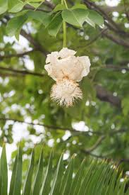 flowers of baobab tree when do baobab flowers open and other